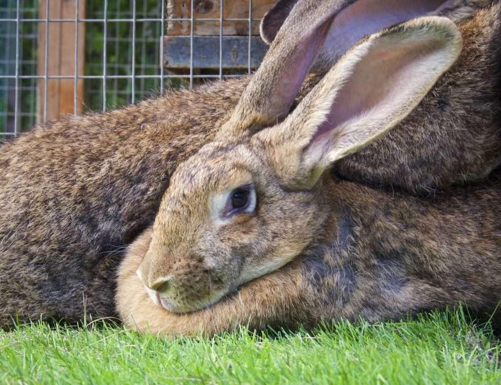 Как понять беременна ли крольчиха