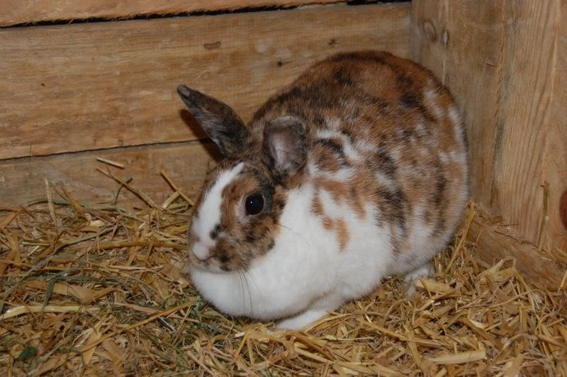 Вздутие живота у кролика