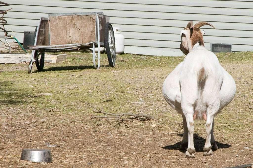 Беременная коза