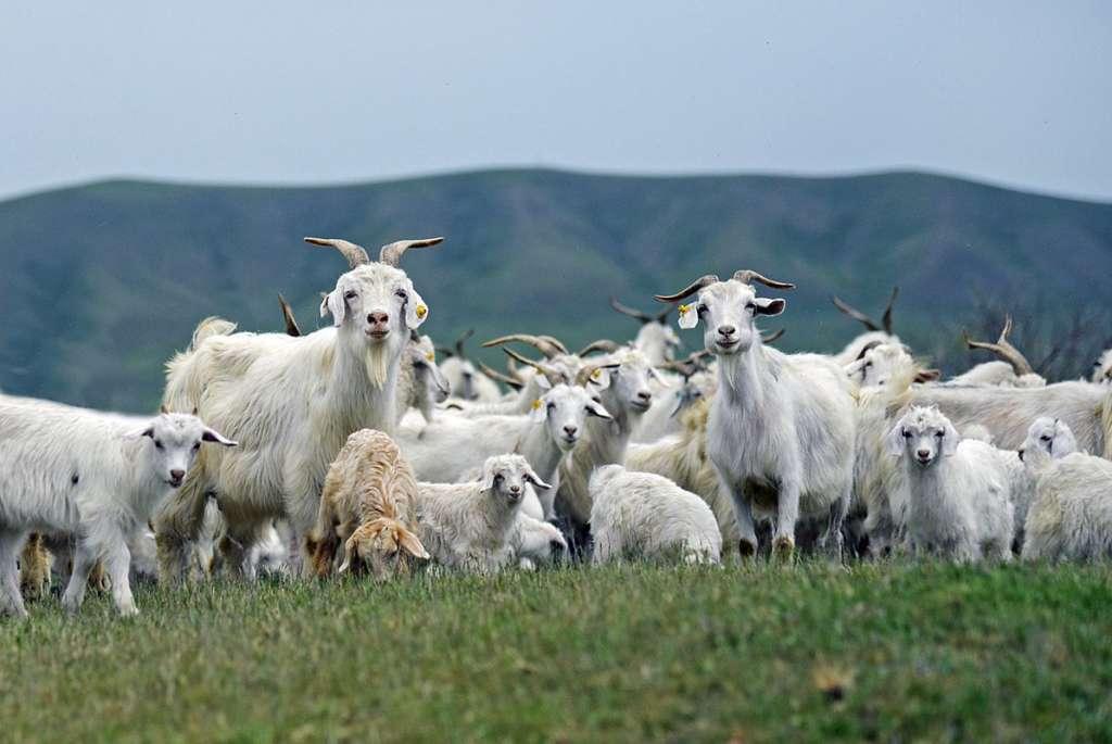 Оренбургские козы