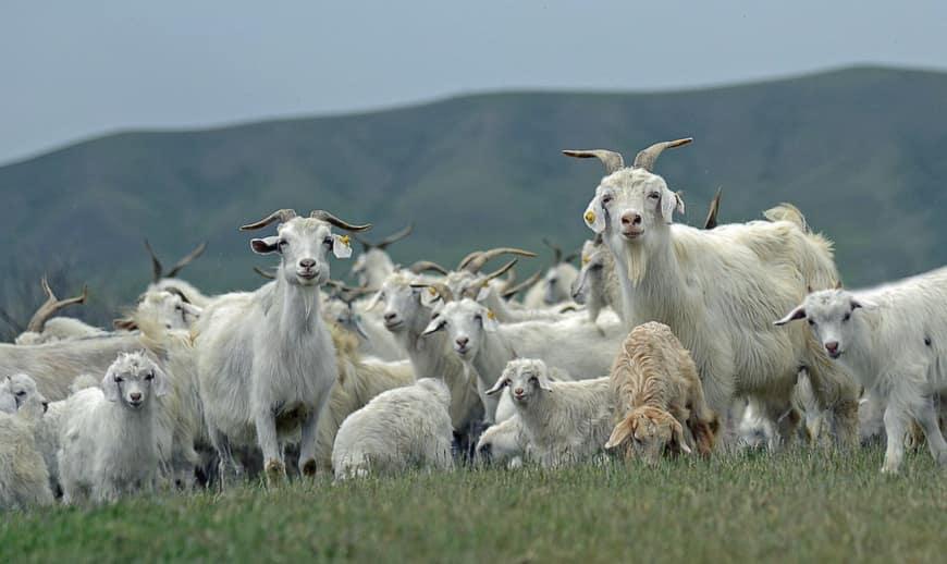 Тувинские козы