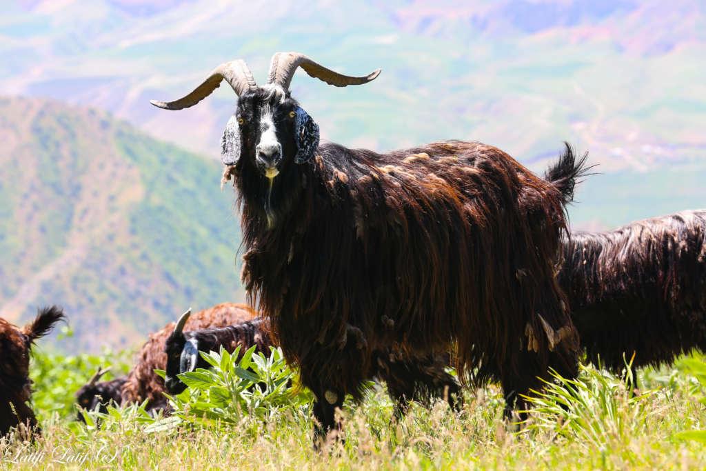 Таджикская коза