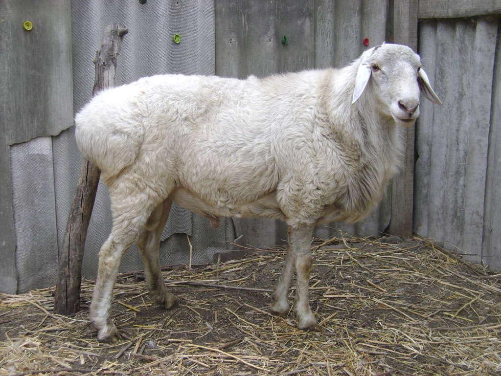 Узбекская коза