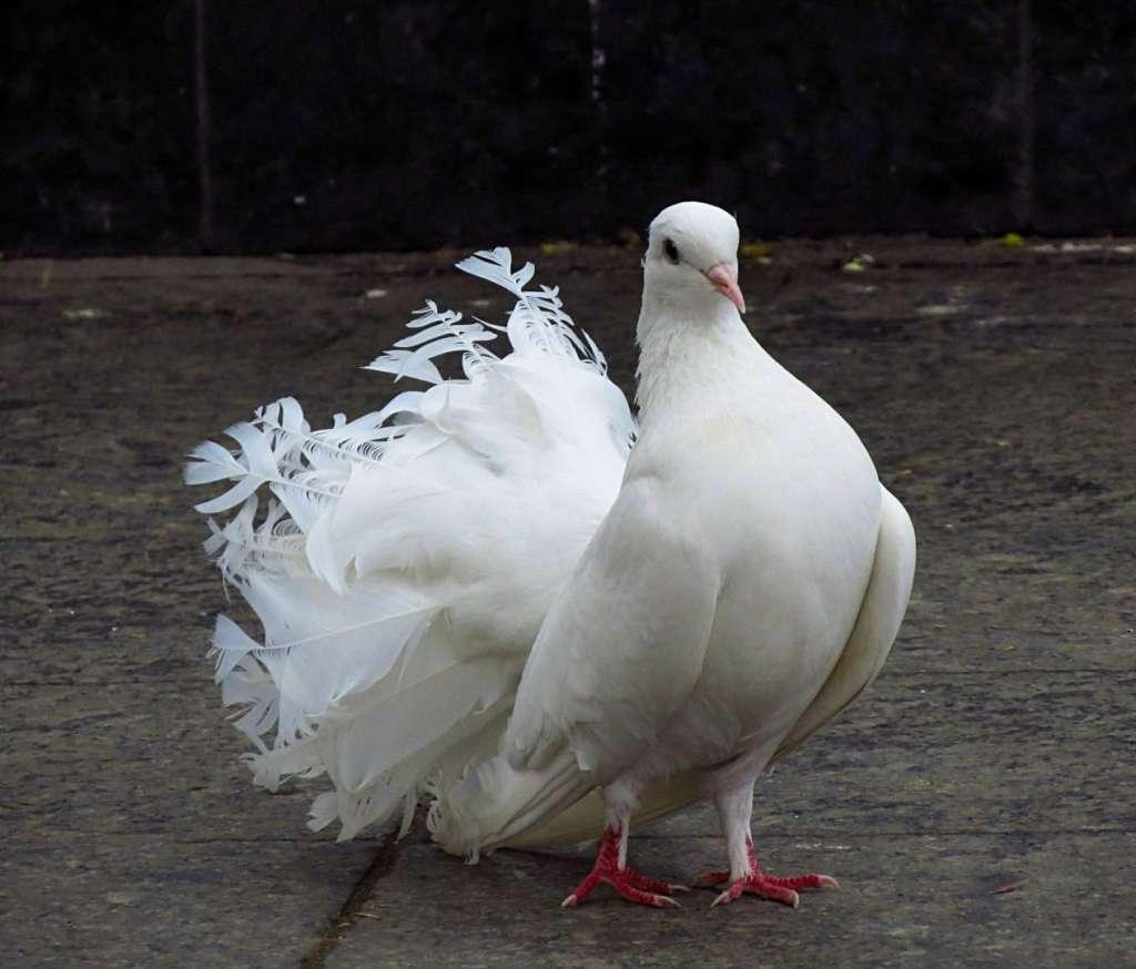 Павлиний голубь Алтайского края