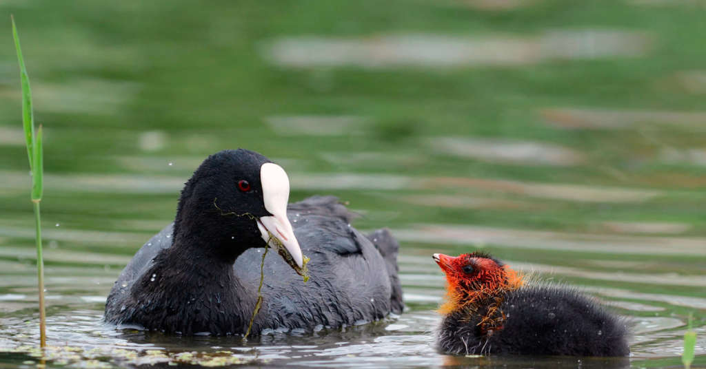 Черная утка с белым клювом