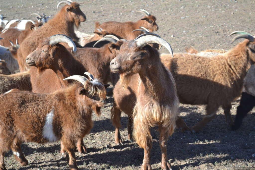 Монгольские козы
