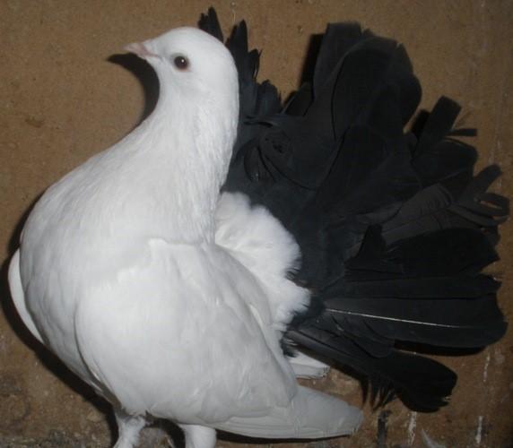 Голубь с черным хвостом
