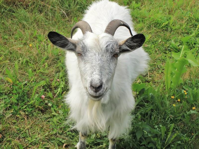 Корейская коза