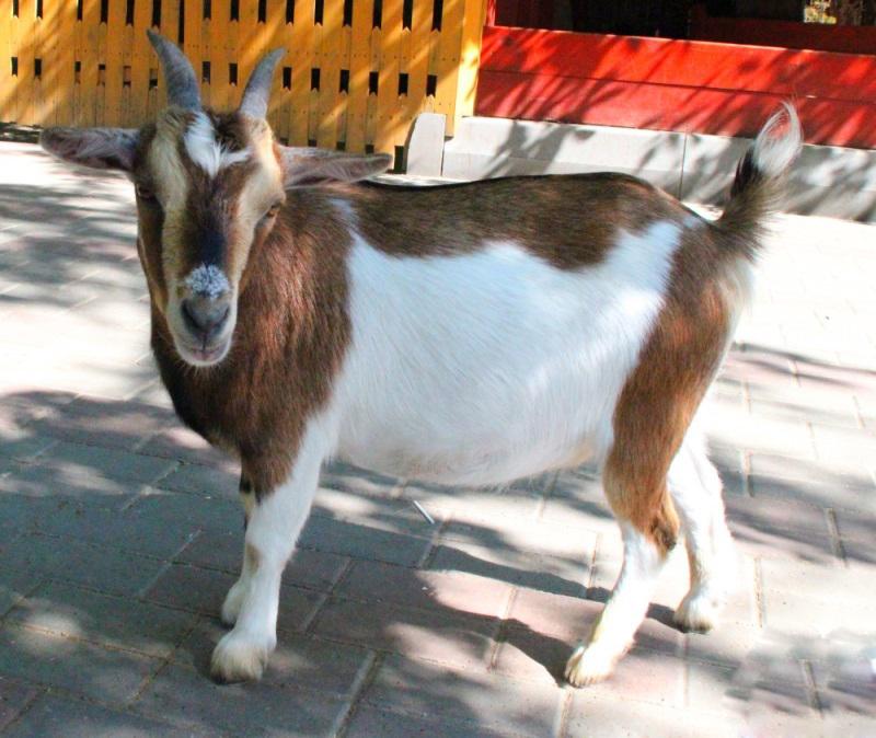 Нигерийская коза