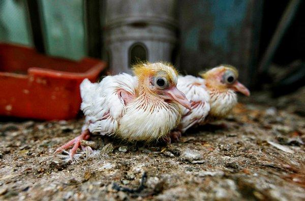 Птенцы голубя