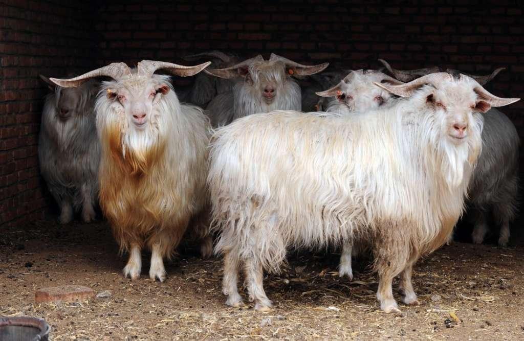 Пуховые козы
