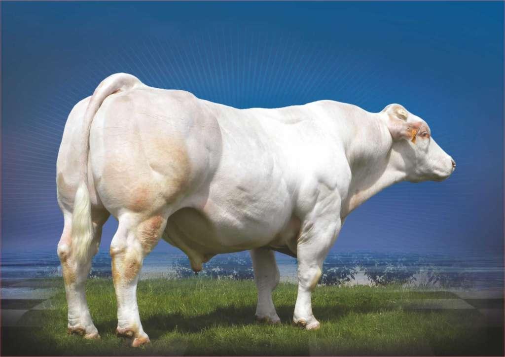 Бельгийская корова