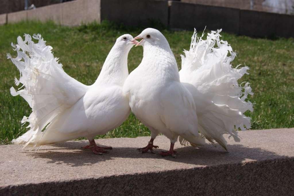 Порода Павлиньих голубей
