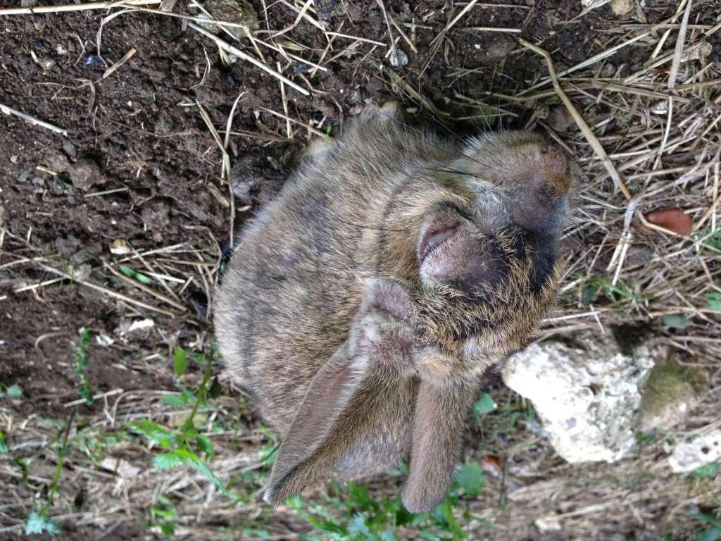 Кролик зараженный миксоматозом