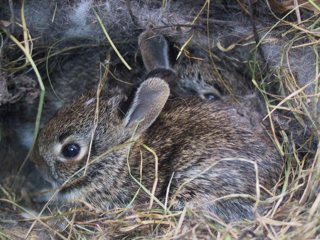 Гнездование кроликов