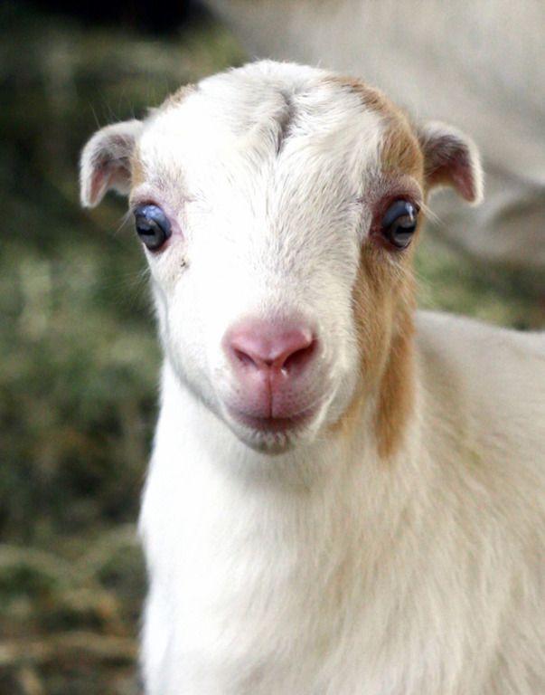 Ламанча коза
