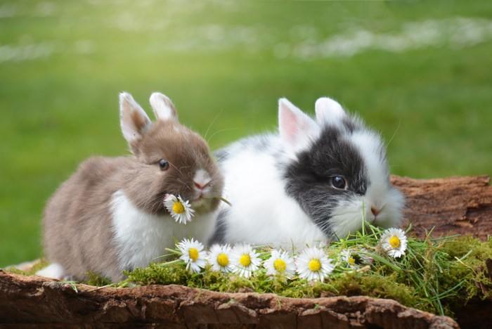 Кролики и ромашка