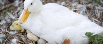 Утка несет яйца
