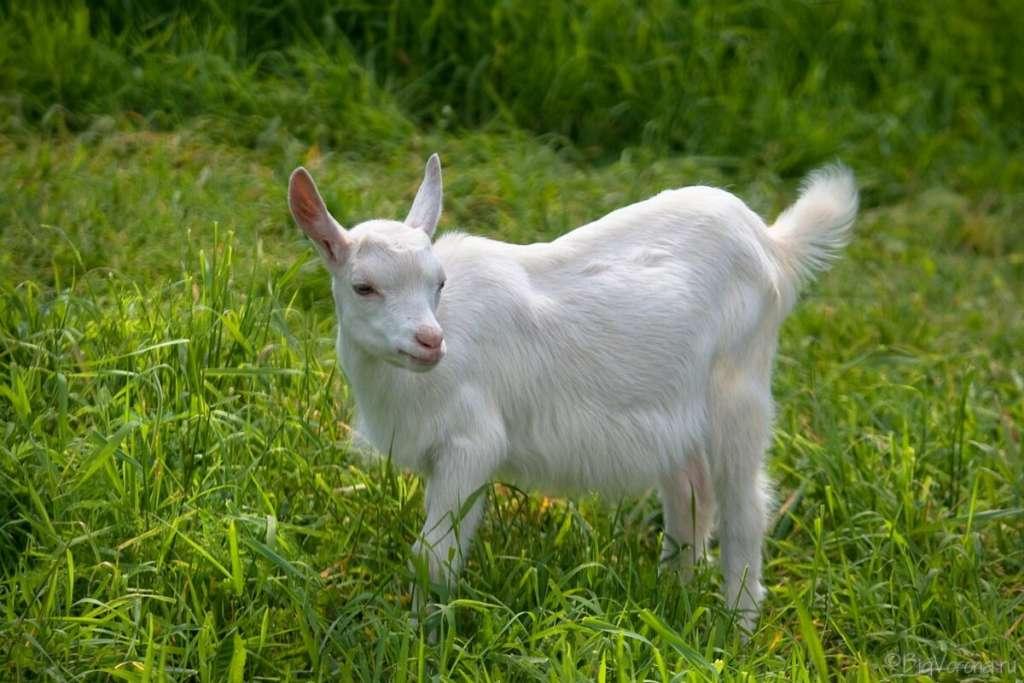 Безрогие козы