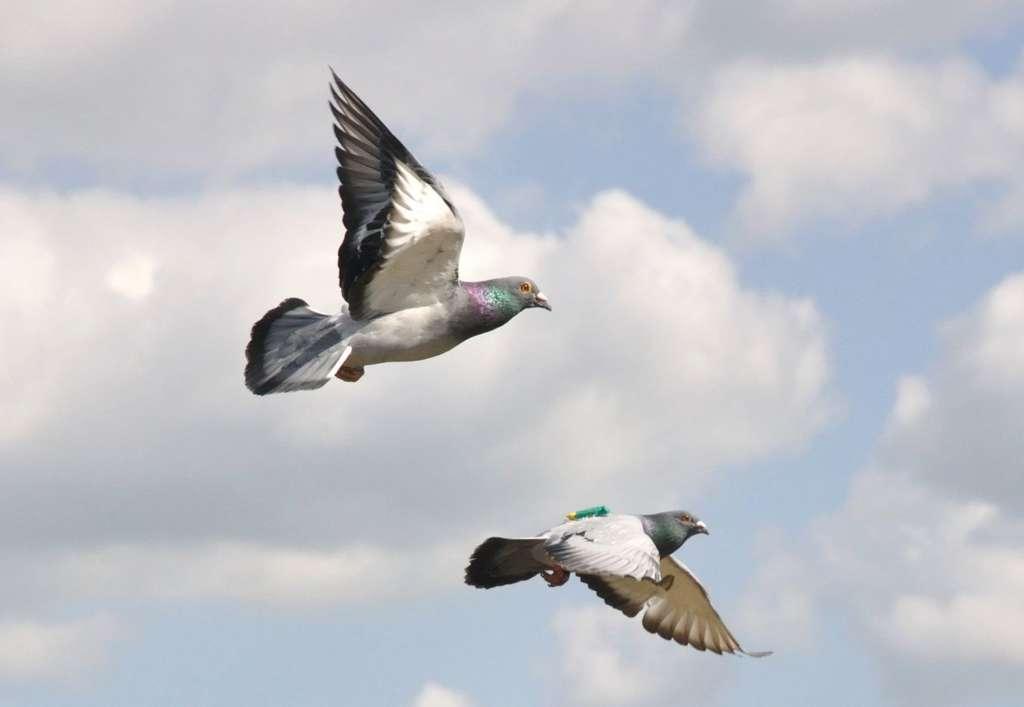 Почтовые голуби в полете