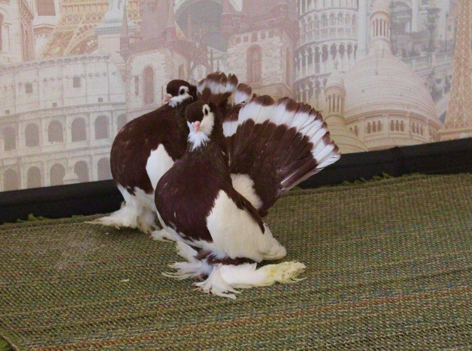 Алтайские шалевые голуби