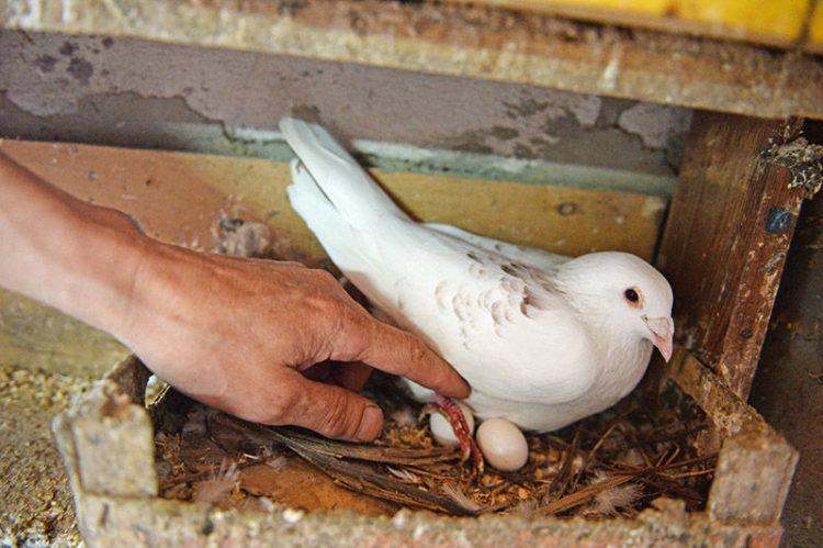 Самка голубя