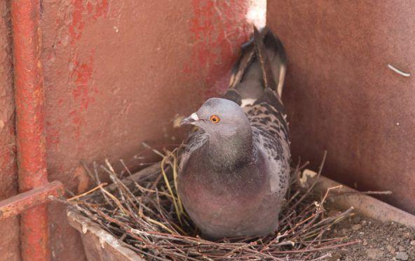 Как спариваются голуби? 2 способа размножения
