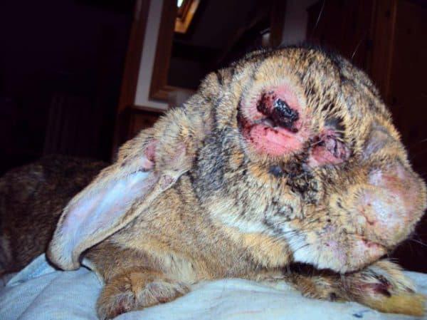 Кролик болеет миксоматозом