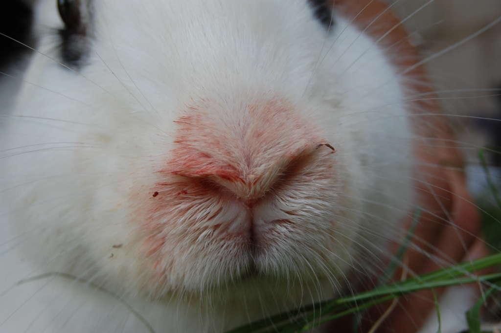 Пастереллез кролика