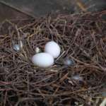 Голубиное гнездо