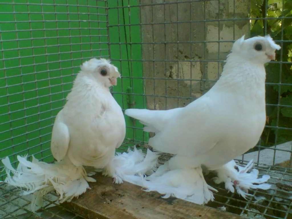 Узбекские лохмоногие голуби