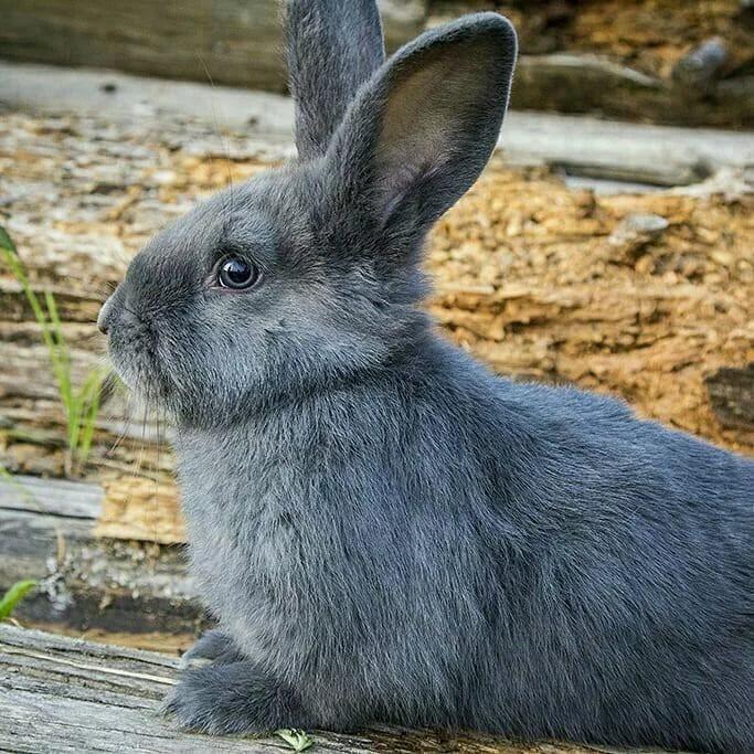 Голубой кролик венской породы