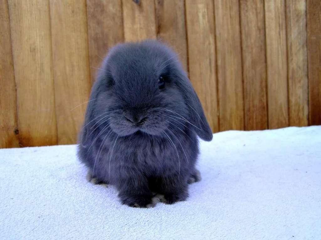 Голубой крольченок
