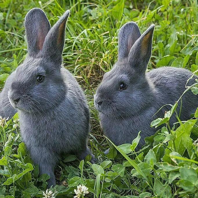 Голубые венские кролики