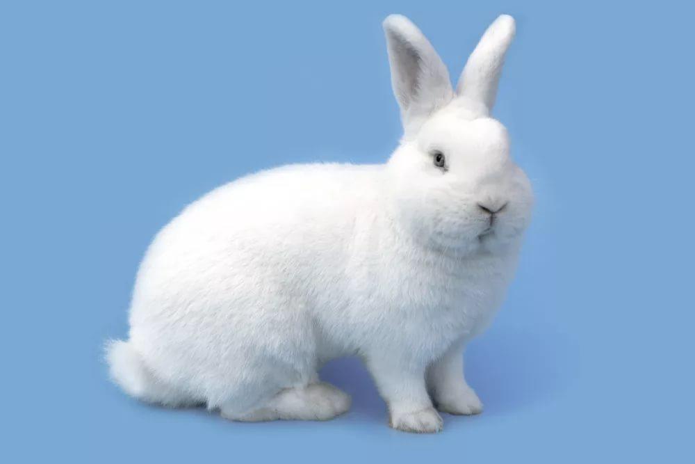 Венский белый кролик