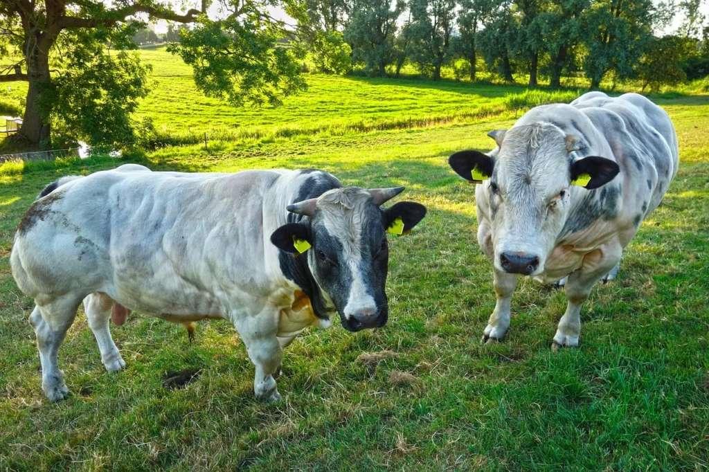 Бельгийские коровы