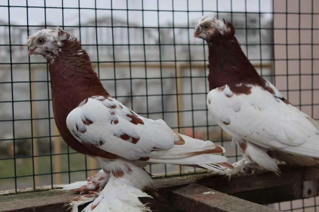 Узбекская порода голубей