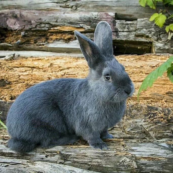 Венская голубая порода кролика