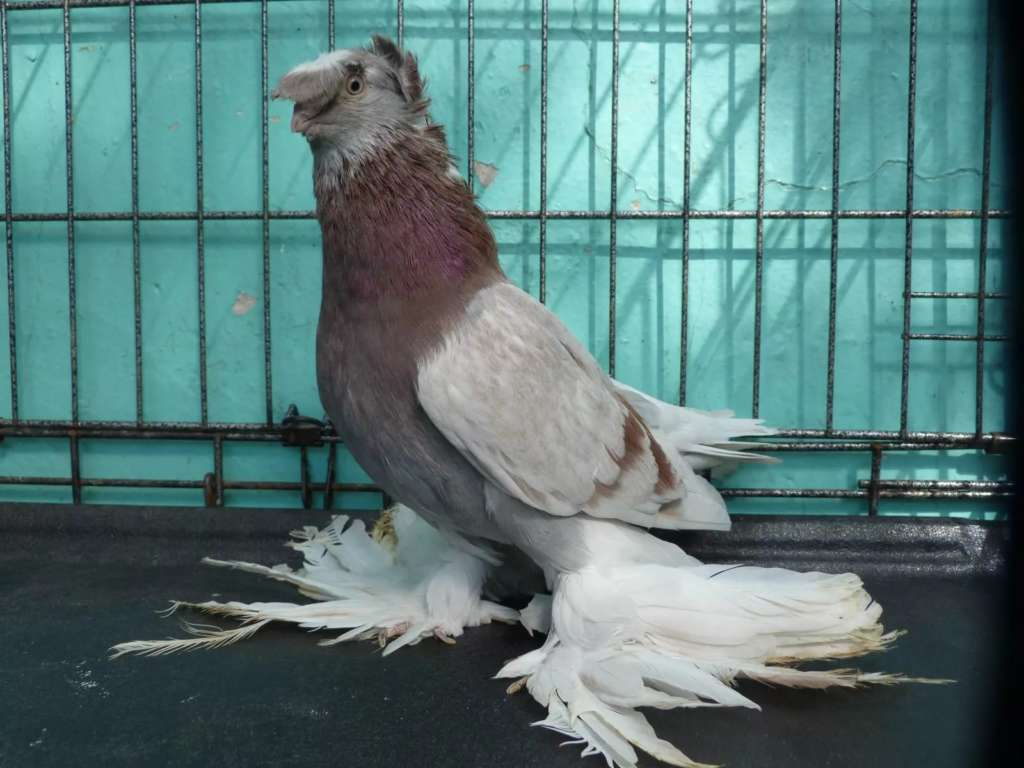 Узбекская порода голубя