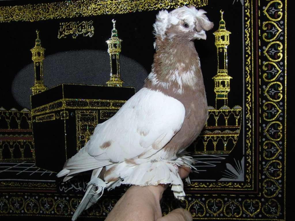 Узбекский голубь