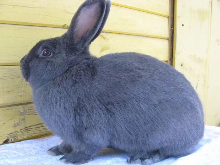 Кролик Венской голубой породы