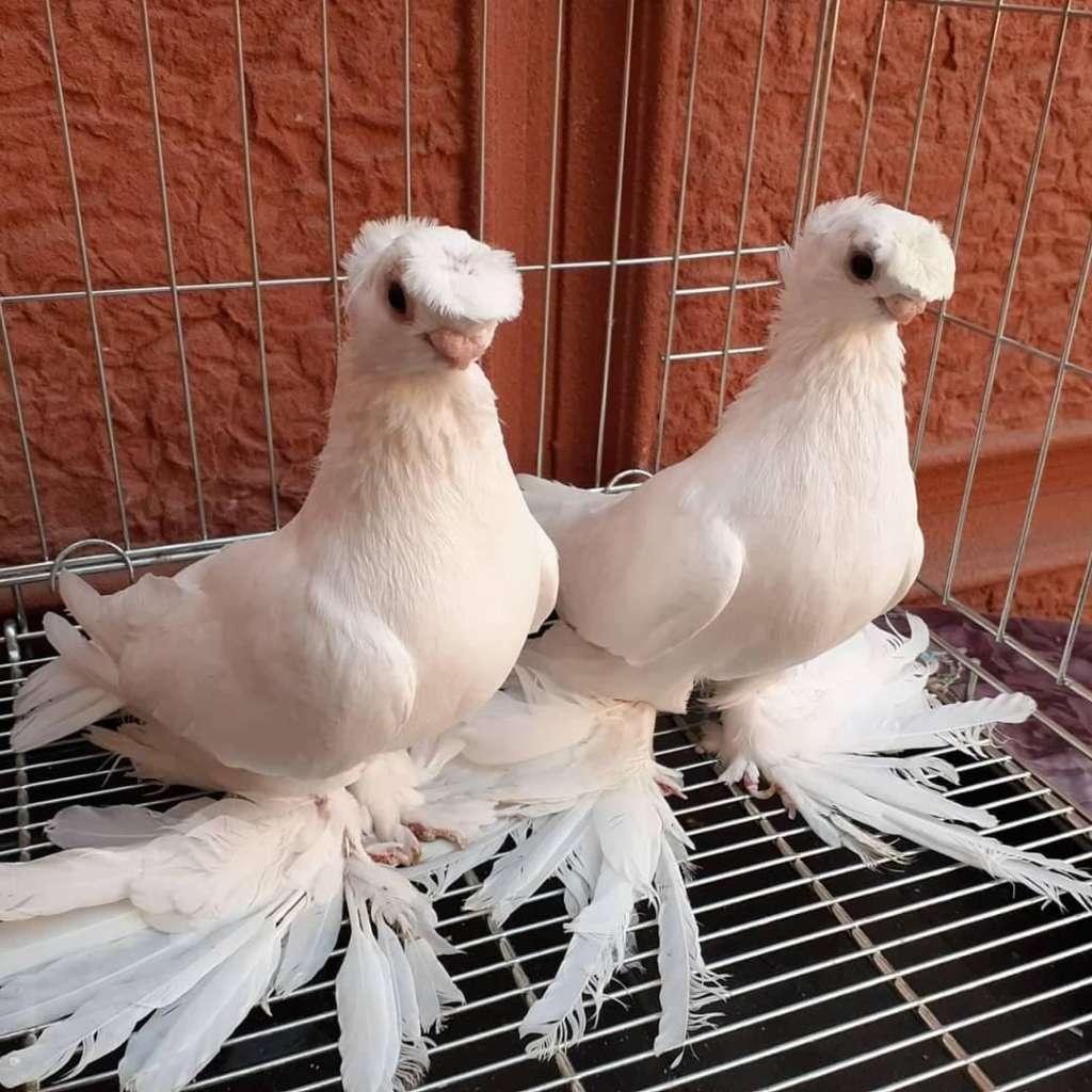 Узбекские выставочные голуби
