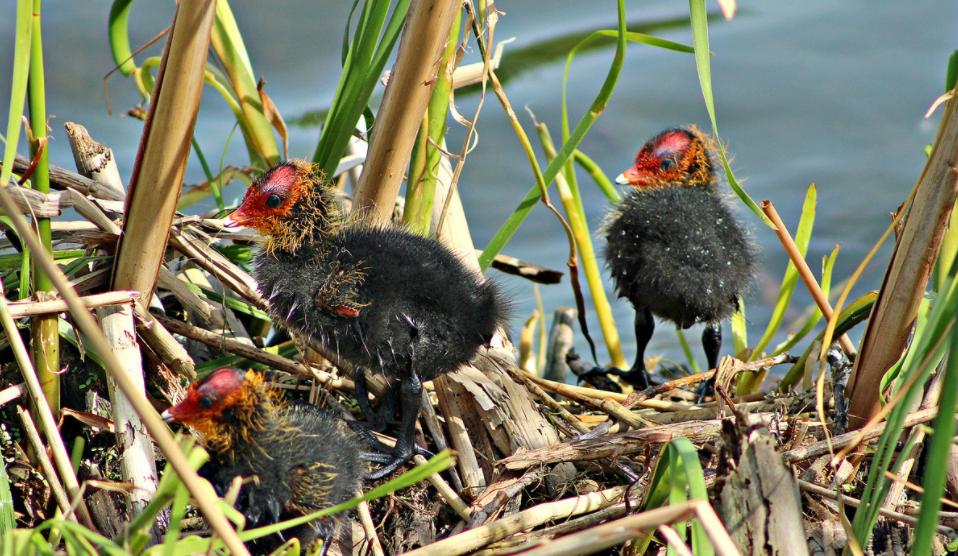 Птенцы лысухи