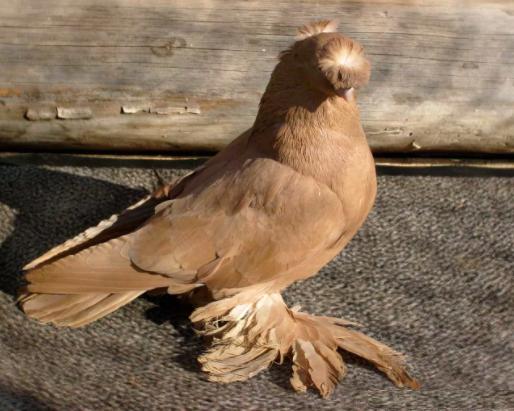 Узбекский лохмоногий голубь