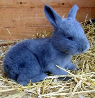 Голубой маленький кролик