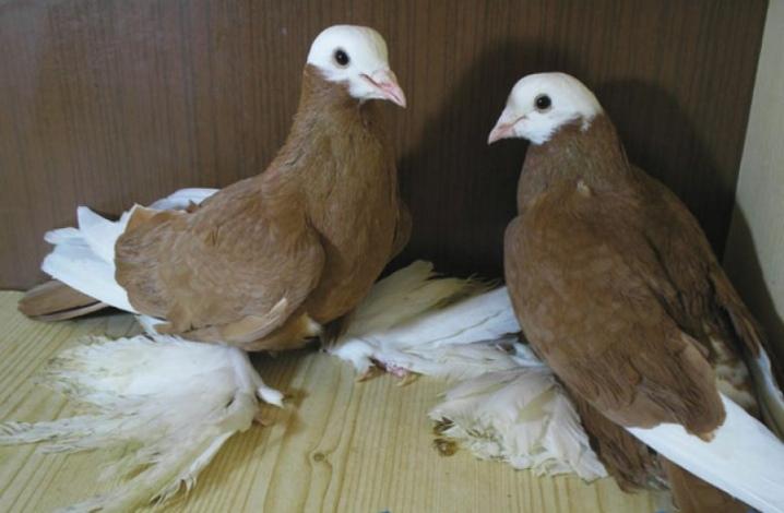 Узбекские бесчубые голуби