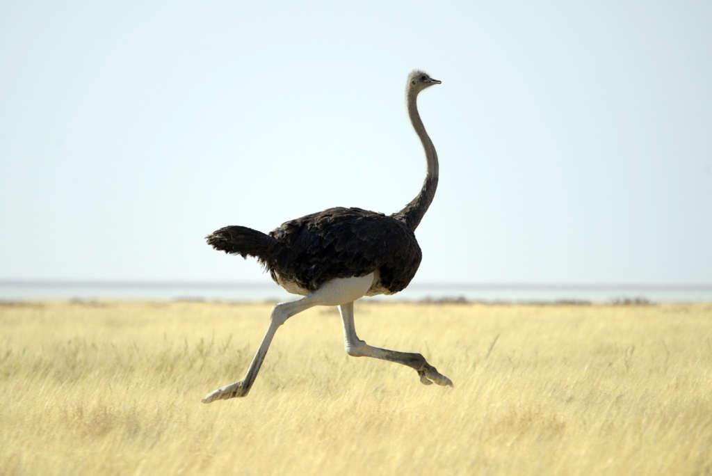 Скорость страуса