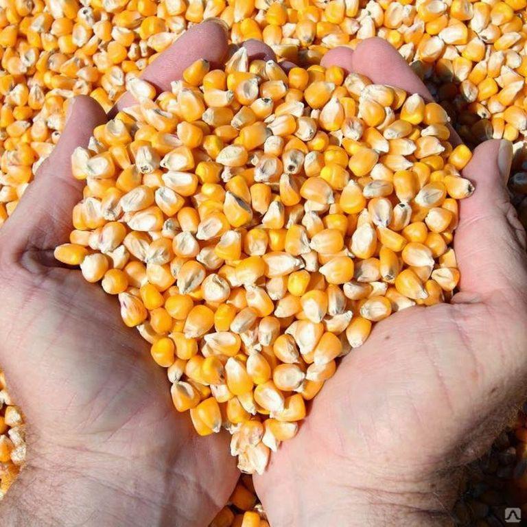 Корм из кукурузы