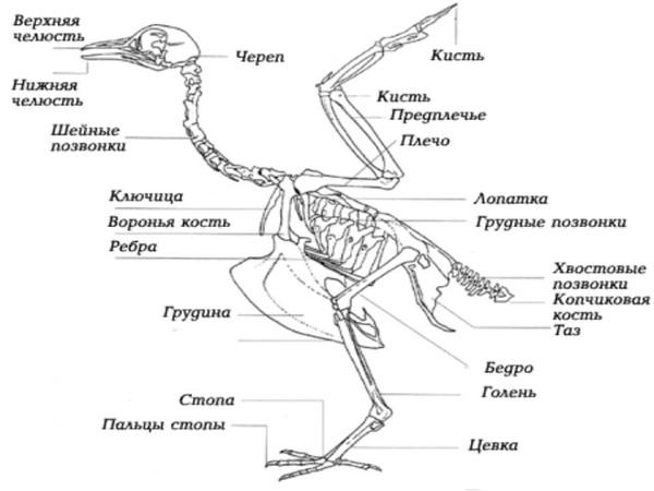 Строение курицы