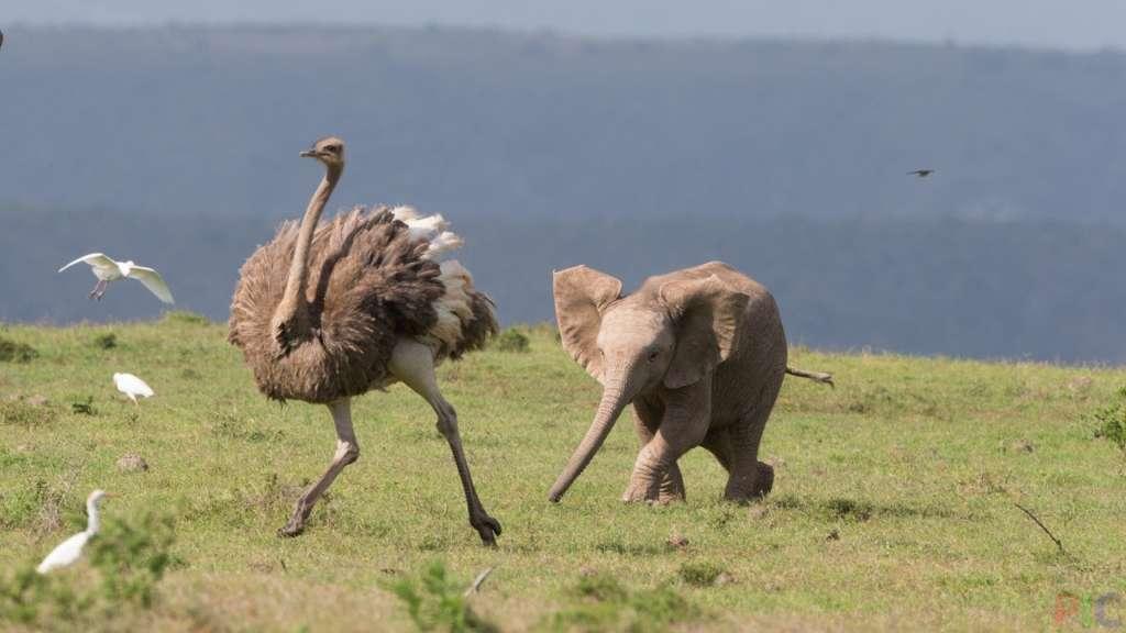 Слон и страус